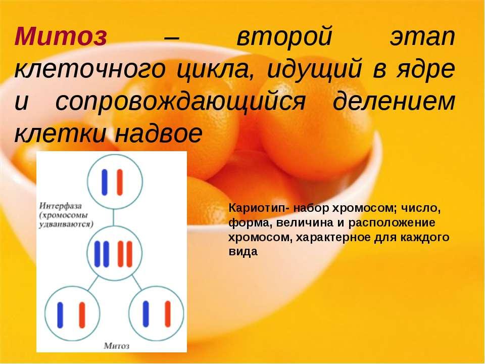 Митоз – второй этап клеточного цикла, идущий в ядре и сопровождающийся делени...
