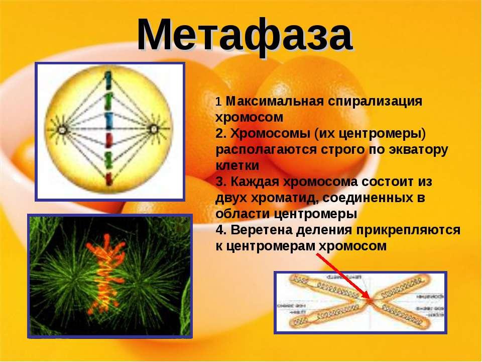 Метафаза 1 Максимальная спирализация хромосом 2. Хромосомы (их центромеры) ра...