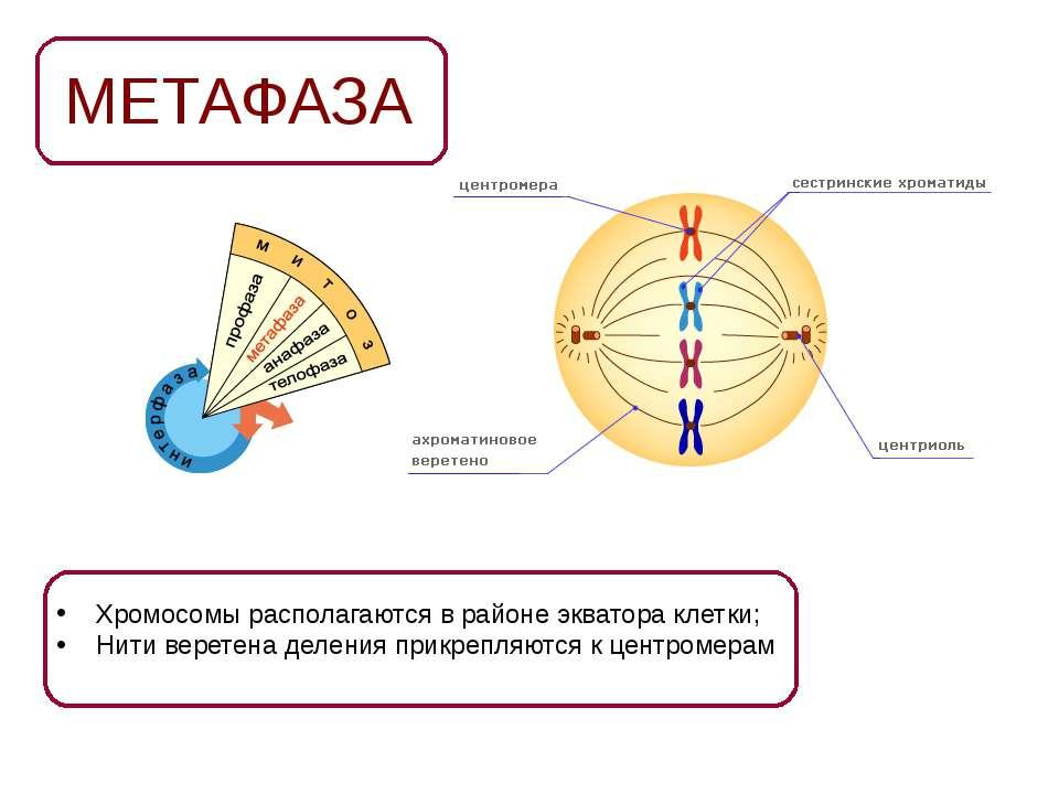 МЕТАФАЗА Хромосомы располагаются в районе экватора клетки; Нити веретена деле...