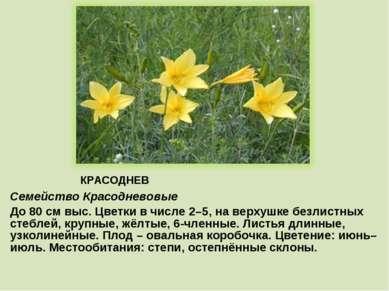 КРАСОДНЕВ Семейство Красодневовые До 80 см выс. Цветки в числе 2–5, на верхуш...