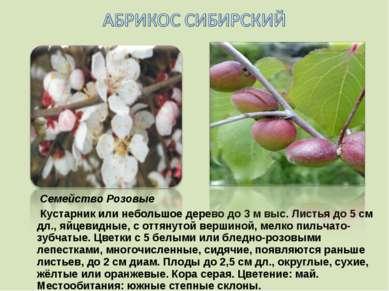 Семейство Розовые Кустарник или небольшое дерево до 3 м выс. Листья до 5 см д...