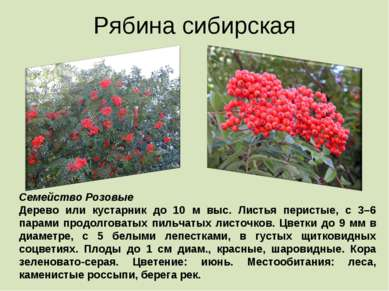 Рябина сибирская Семейство Розовые Дерево или кустарник до 10 м выс. Листья п...