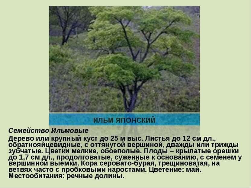 ИЛЬМ ЯПОНСКИЙ Семейство Ильмовые Дерево или крупный куст до 25 м выс. Листья ...