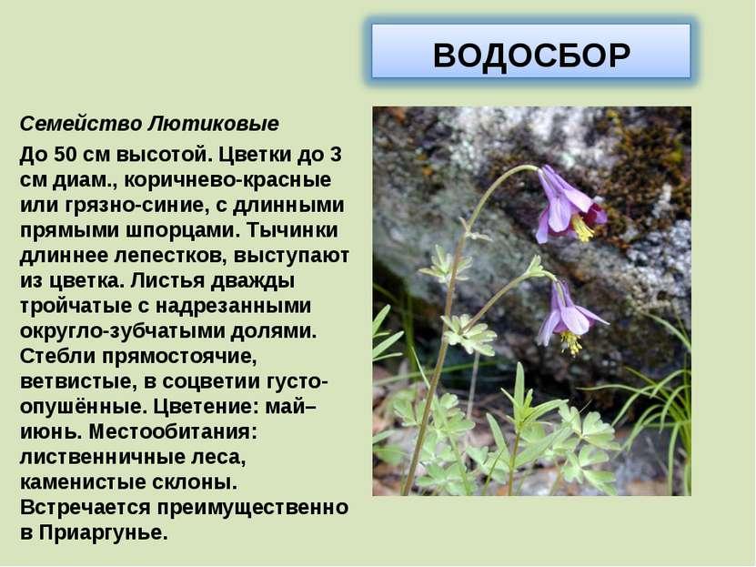 Семейство Лютиковые До 50 см высотой. Цветки до 3 см диам., коричнево-красные...