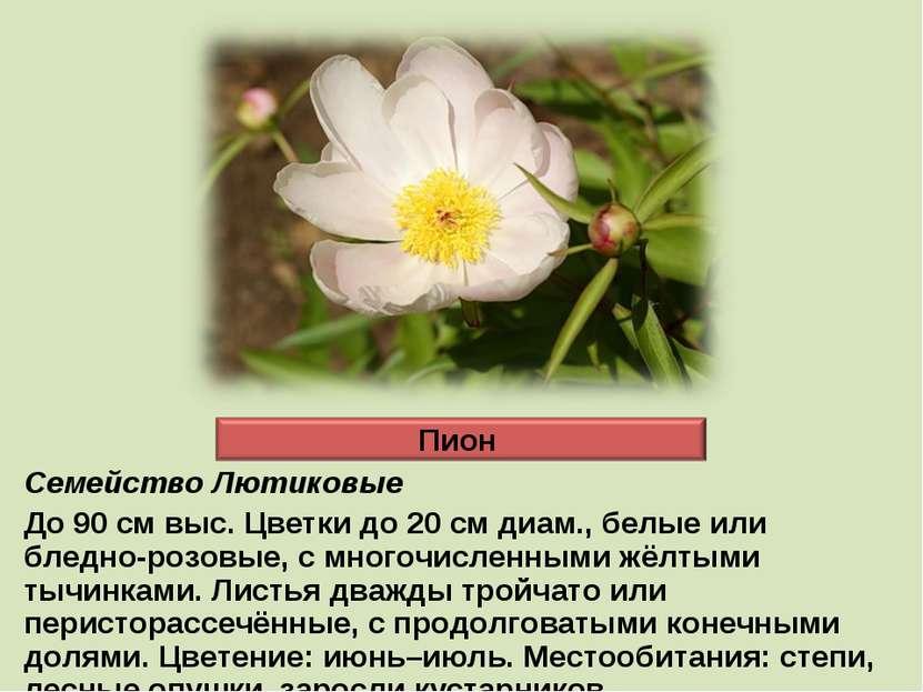 Семейство Лютиковые До 90 см выс. Цветки до 20 см диам., белые или бледно-роз...