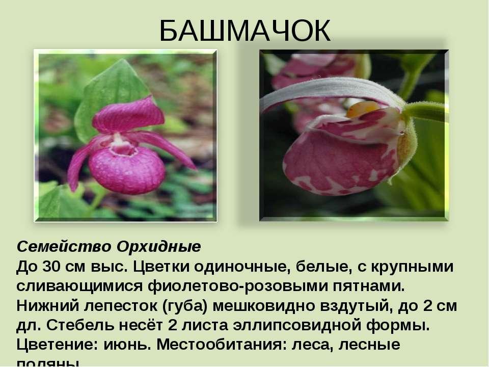 БАШМАЧОК Семейство Орхидные До 30 см выс. Цветки одиночные, белые, с крупными...