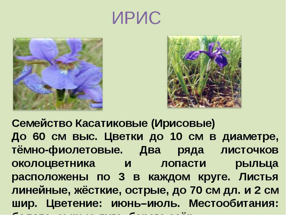 Семейство Касатиковые (Ирисовые) До 60 см выс. Цветки до 10 см в диаметре, тё...