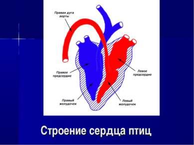 Строение сердца птиц