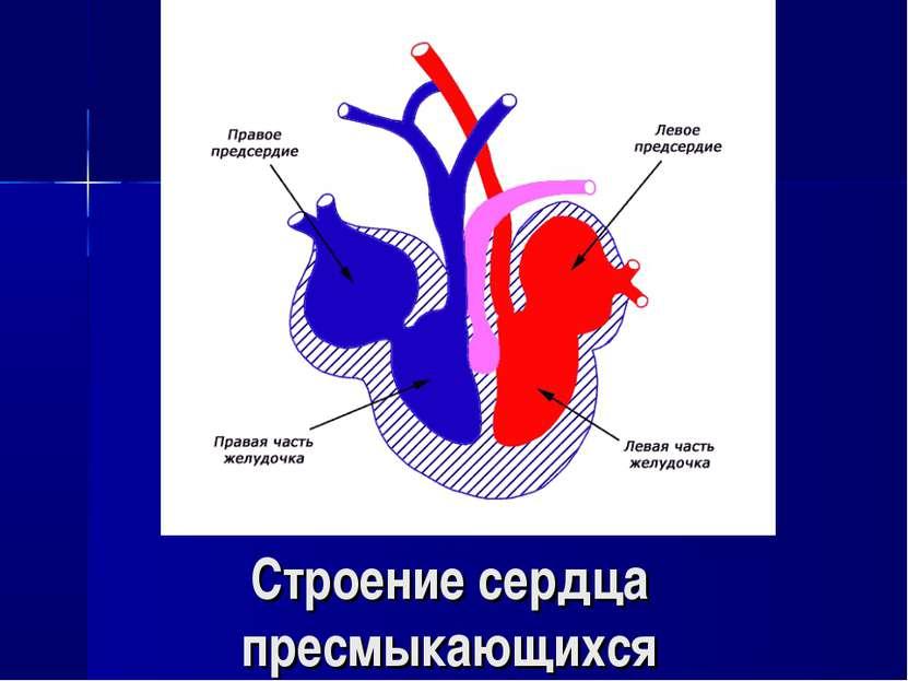 Строение сердца пресмыкающихся