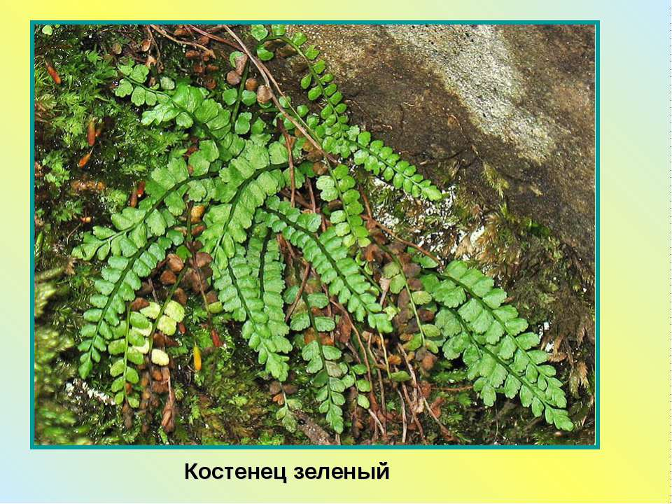 Костенец зеленый