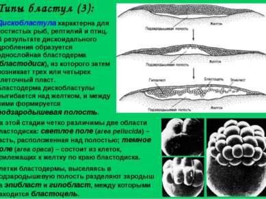 Дискобластула характерна для костистых рыб, рептилий и птиц. В результате дис...