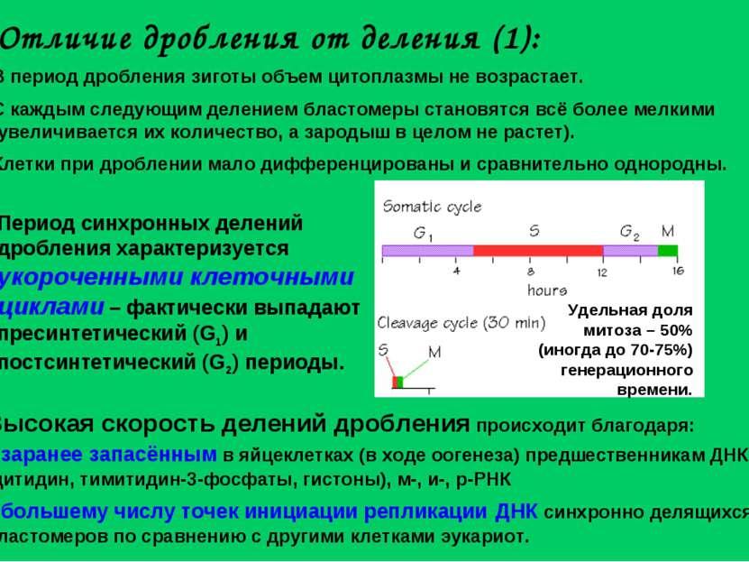 Отличие дробления от деления (1): В период дробления зиготы объем цитоплазмы ...