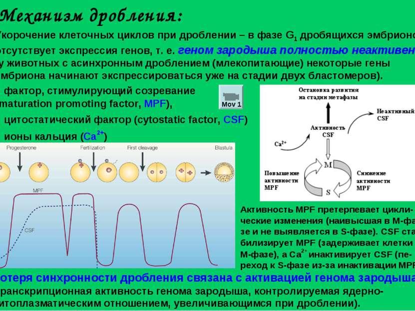 Механизм дробления: Укорочение клеточных циклов при дроблении – в фазе G1 дро...