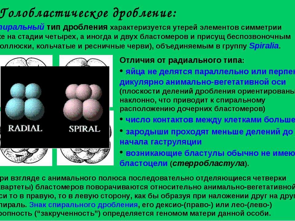 Голобластическое дробление: Спиральный тип дробления характеризуется утерей э...