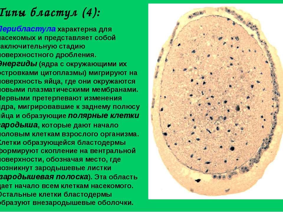 Типы бластул (4): Перибластула характерна для насекомых и представляет собой ...