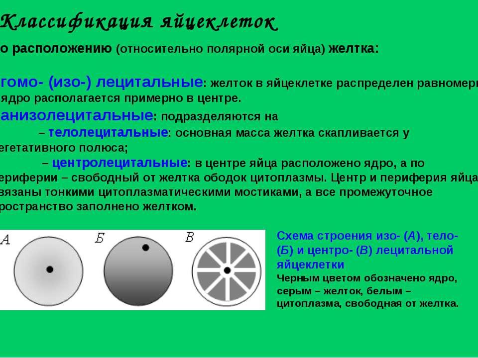 По расположению (относительно полярной оси яйца) желтка: гомо- (изо-) лецитал...