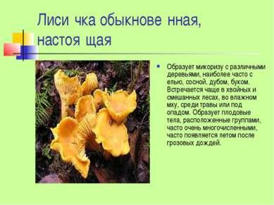 Лиси чка обыкнове нная, настоя щая Образует микоризу с различными деревьями, ...