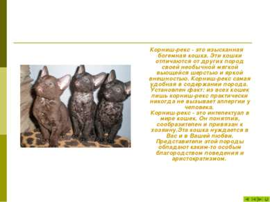 Корниш-рекс - это изысканная богемная кошка. Эти кошки отличаются от других п...