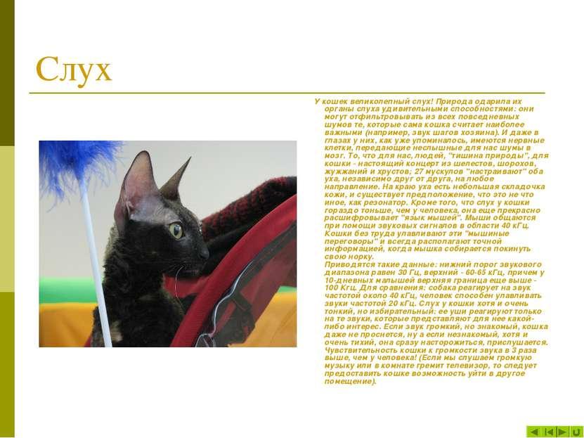Слух У кошек великолепный слух! Природа одарила их органы слуха удивительными...