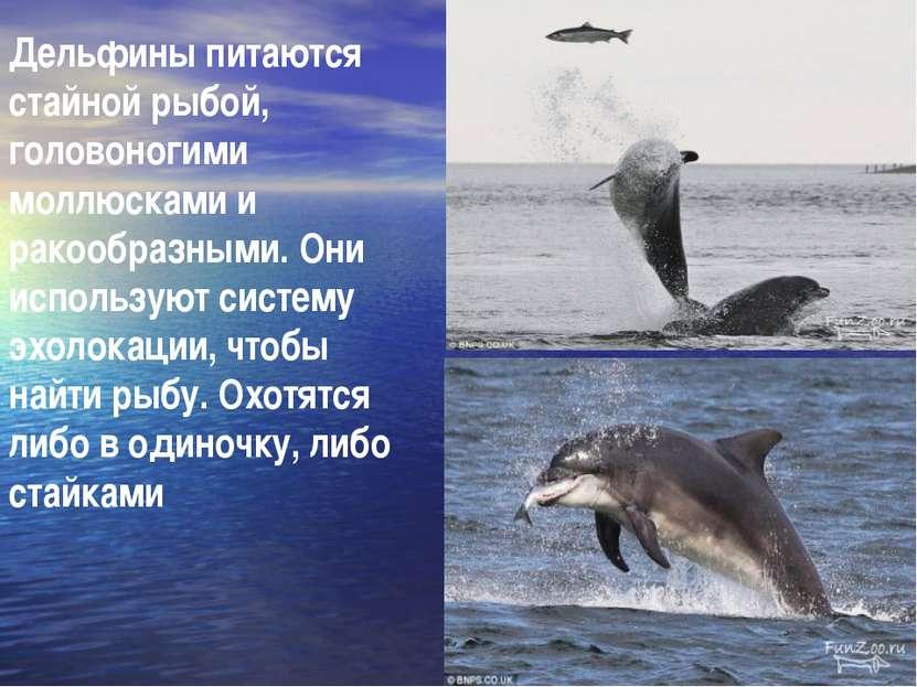 Дельфины питаются стайной рыбой, головоногими моллюсками и ракообразными. Они...