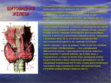 ЩИТОВИДНАЯ ЖЕЛЕЗА О важной роли этого органа в жизнедеятельности человека дог...