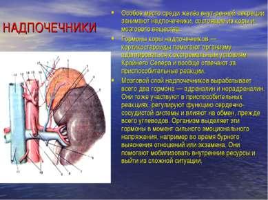НАДПОЧЕЧНИКИ Особое место среди желёз внут ренней секреции занимают надпочечн...
