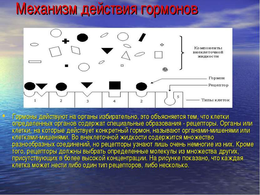 Механизм действия гормонов Гормоны действуют на органы избирательно, это объя...