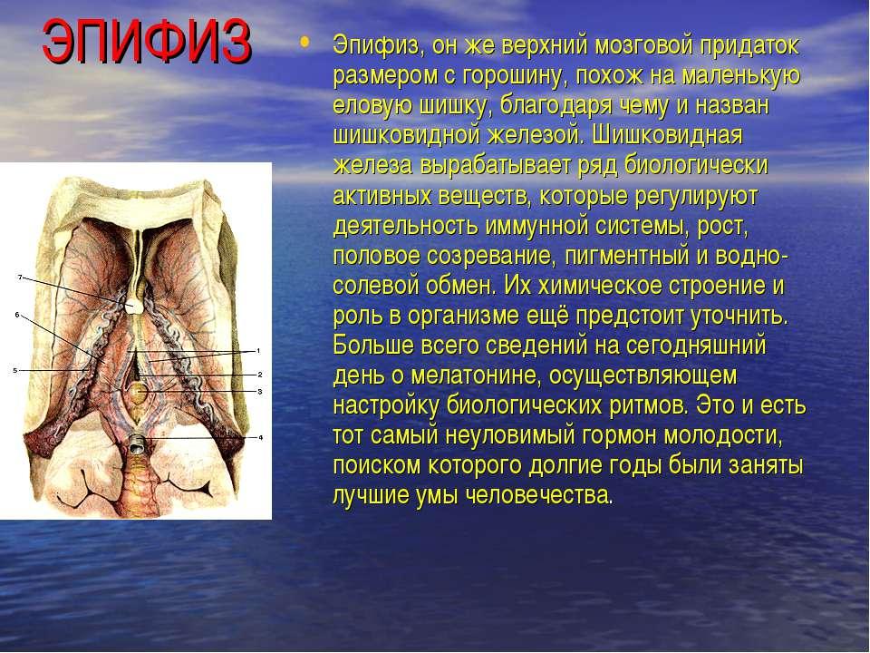 ЭПИФИЗ Эпифиз, он же верхний мозговой придаток размером с горошину, похож на ...