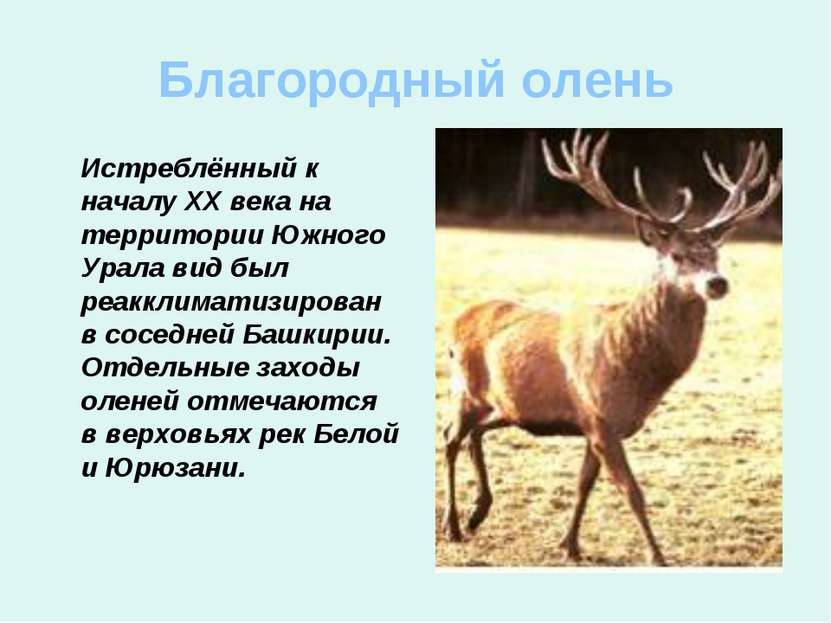 Благородный олень Истреблённый к началу ХХ века на территории Южного Урала ви...