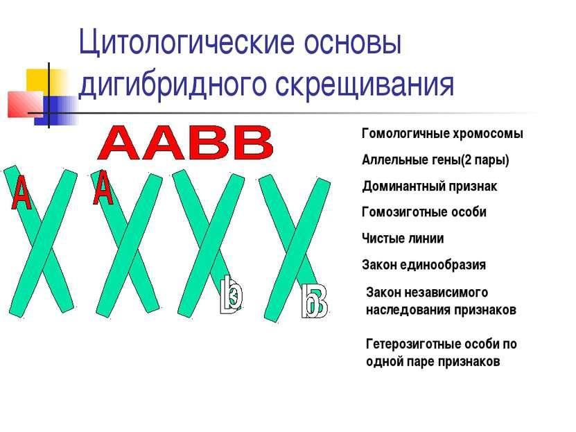 Цитологические основы дигибридного скрещивания Гомологичные хромосомы Аллельн...