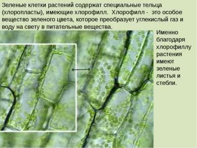 Зеленые клетки растений содержат специальные тельца (хлоропласты), имеющие хл...