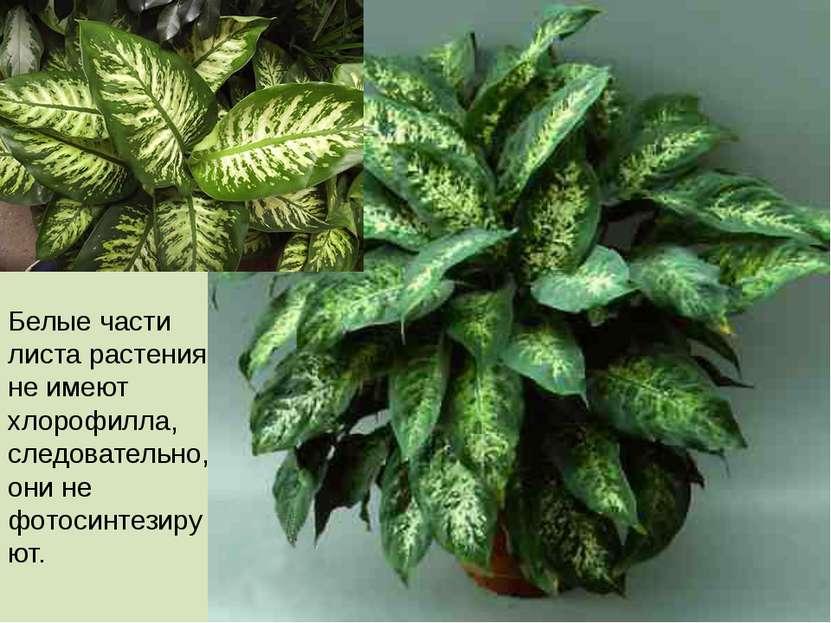 Белые части листа растения не имеют хлорофилла, следовательно, они не фотосин...