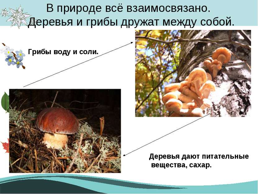 В природе всё взаимосвязано. Деревья и грибы дружат между собой. Деревья дают...