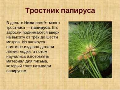 Тростник папируса В дельте Нила растёт много тростника — папируса. Его заросл...