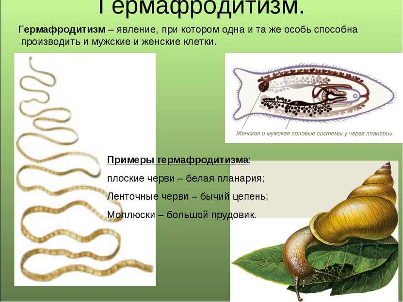 Гермафродитизм. Примеры гермафродитизма: плоские черви – белая планария; Лент...