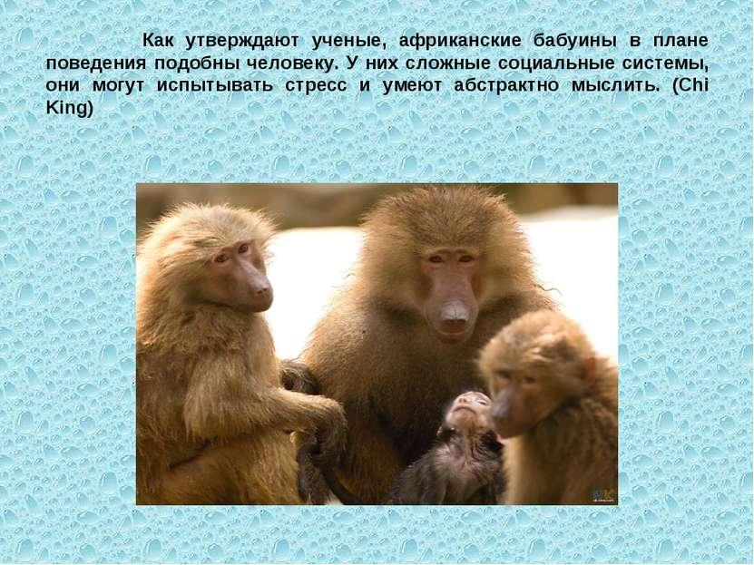 Как утверждают ученые, африканские бабуины в плане поведения подобны человеку...