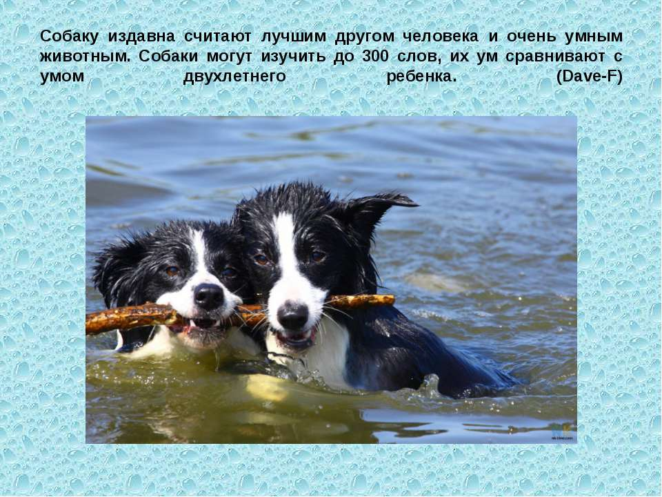 Собаку издавна считают лучшим другом человека и очень умным животным. Собаки ...
