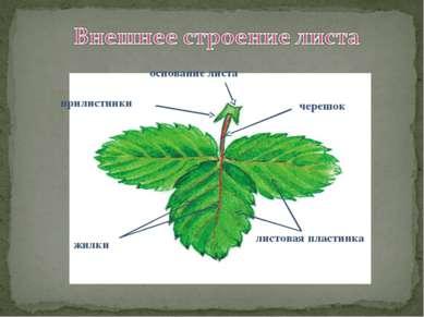 черешок листовая пластинка основание листа прилистники жилки