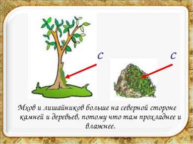 Мхов и лишайников больше на северной стороне камней и деревьев, потому что та...