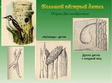 Отряд Дятлообразные «Кузница» дятла Дупло дятла с кладкой яиц