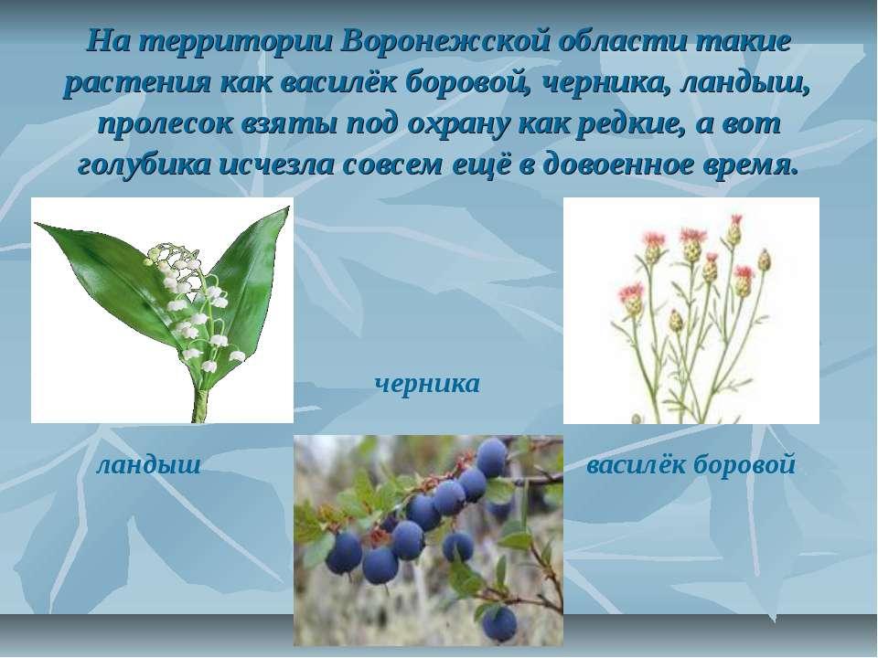 На территории Воронежской области такие растения как василёк боровой, черника...