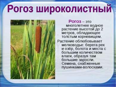 Рогоз – это многолетнее водное растение высотой до 2 метров, обладающее толст...