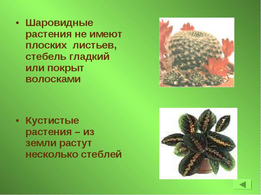 Шаровидные растения не имеют плоских листьев, стебель гладкий или покрыт воло...