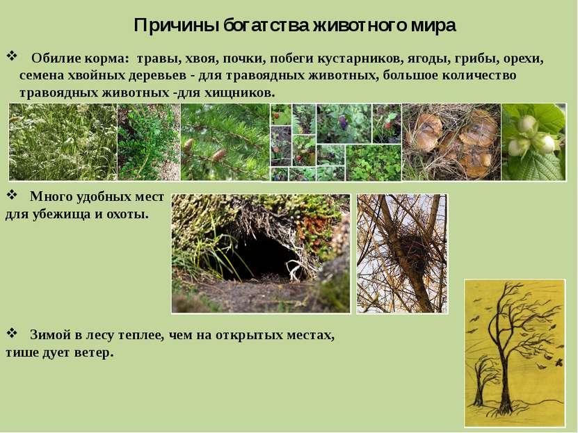 Причины богатства животного мира Обилие корма: травы, хвоя, почки, побеги кус...