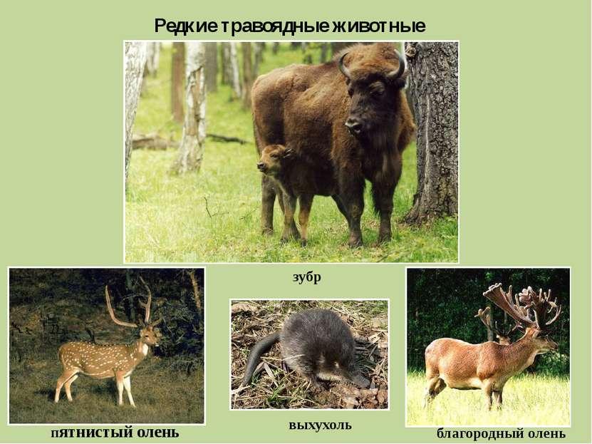 Редкие травоядные животные зубр пятнистый олень выхухоль благородный олень