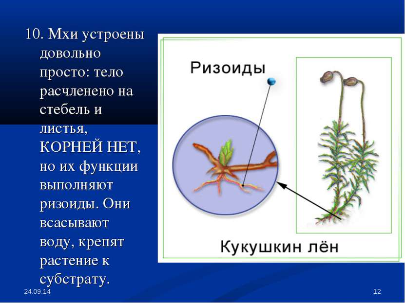 * * 10. Мхи устроены довольно просто: тело расчленено на стебель и листья, КО...