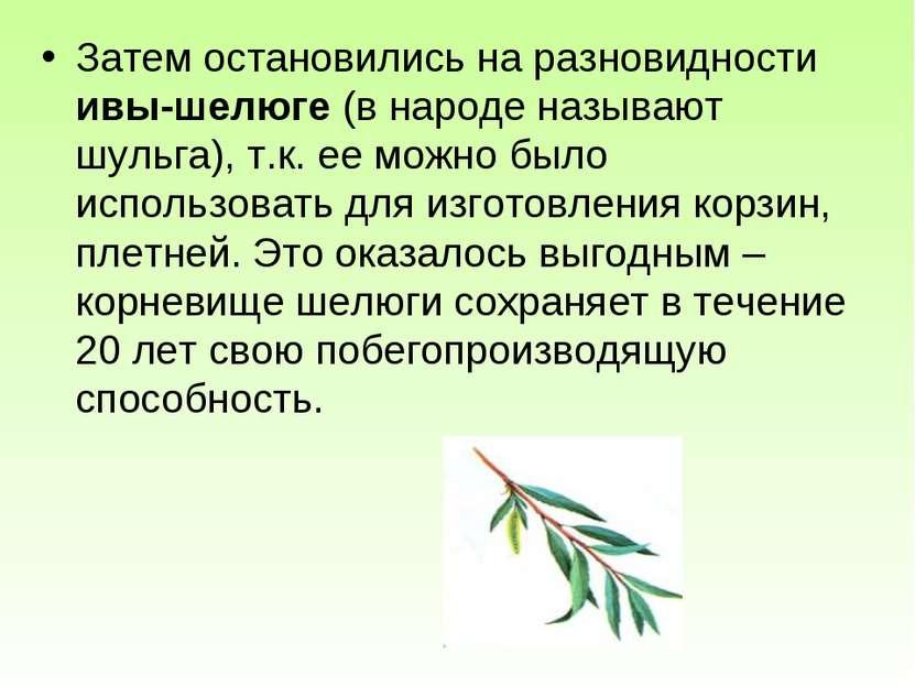 Затем остановились на разновидности ивы-шелюге (в народе называют шульга), т....