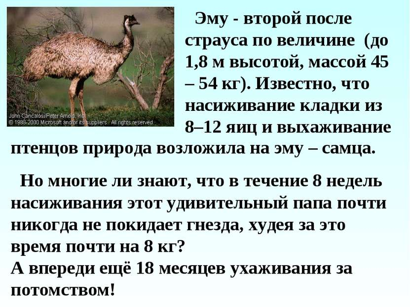 Эму - второй после страуса по величине (до 1,8 м высотой, массой 45 – 54 кг)....