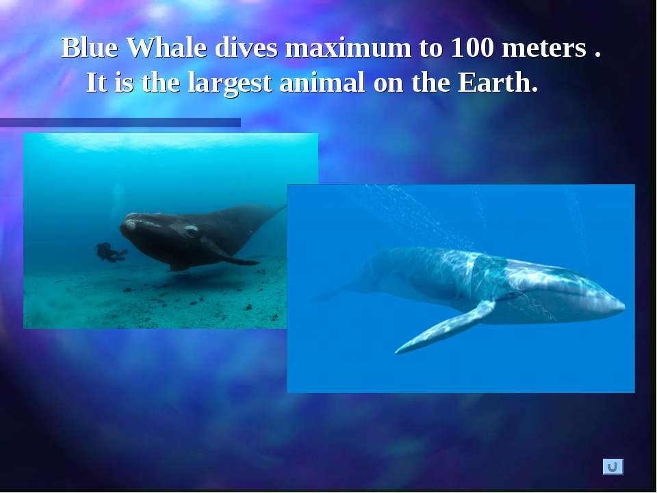Blue Whale dives maximum to 100 meters . It is the largest animal on the Earth.