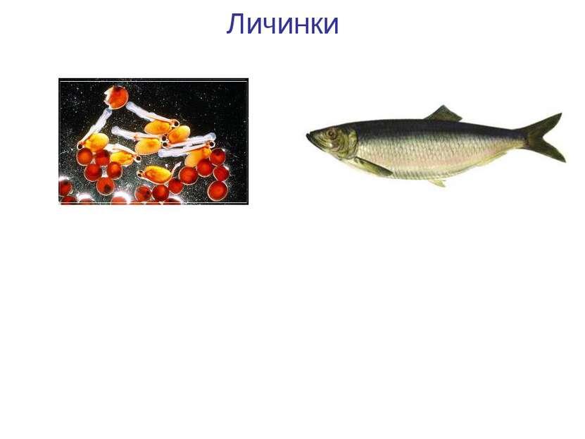Личинки Личинки рыб